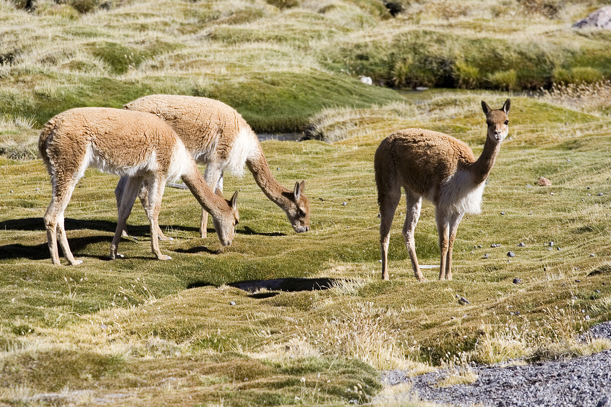 pull-laine-vigogne