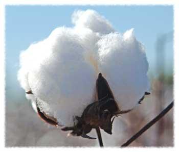 Le coton en fleur
